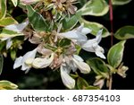 Small photo of Abelia x grandiflora 'Radiance', cultivar with green and creamy white variegated foliage and showy white bella-shaped flowers in clusters, suitable for mixed borders.