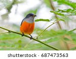 orange bellied flowerpecker no. ... | Shutterstock . vector #687473563