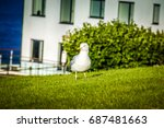 Seagull Running On The Green...