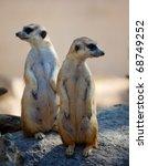 Two Meerkat Standing