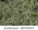 macro photography of lichens | Shutterstock . vector #687493027