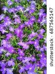 A Field Of Purple Lobelia...