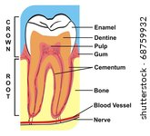 cross section of tooth  crown   ... | Shutterstock . vector #68759932