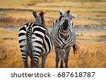 Pair Of Plains Zebras Shaking...