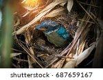 hooded pitta  pitta sordid  ... | Shutterstock . vector #687659167