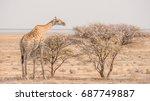 Giraffe Leaning Over To Eat...