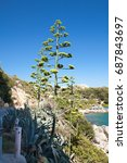 Small photo of Blossoming agave. Very rare agave flower. Agave by the sea.