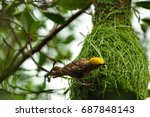 this is rice bird from thailand....   Shutterstock . vector #687848143
