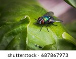 Common Greenbottle Fly  Lucili...