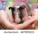 skinny guinea pig baby in the... | Shutterstock . vector #687890023