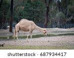 camels in australia.   Shutterstock . vector #687934417