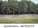 zebra on grassland.   Shutterstock . vector #687941473