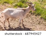 Young Goat With Horns Standing...