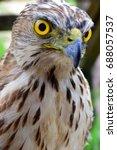 Hawk  Falcons  Hawks  Kites ...
