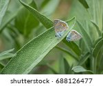 Two Gossamer Winged Butterflie...