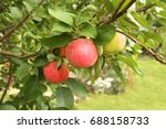 ripe red apples and green... | Shutterstock . vector #688158733