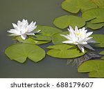 water lilies. summer flowers.... | Shutterstock . vector #688179607