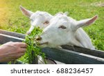 Two White Goats Eat Grass From...