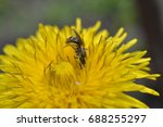 yellow dandelion macro with...   Shutterstock . vector #688255297