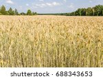 the rye crop  secale cereale ... | Shutterstock . vector #688343653