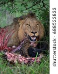 Close Up Of Lion Male With...