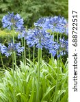 Small photo of Agapanthus Midnight Star