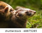 Small photo of European Polecat (Mustela putorius) also known as a fitch, foumart, or foulmart during copulation, close up of male animal biting neck of female
