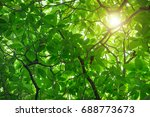 green cananga odorata tree ...   Shutterstock . vector #688773673
