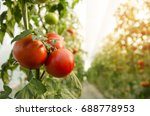 beautiful tomatoes plant on... | Shutterstock . vector #688778953