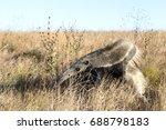 the giant anteater ... | Shutterstock . vector #688798183