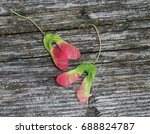 Small photo of Colourfull Key from Amur Maple Tree (Acer ginnala)