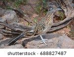Roadrunner  Chaparral Bird Or...