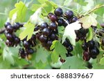 Small photo of American black currant