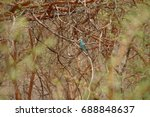 Small photo of Abyssinian Roller, Bandia Reserve, Senegal, West Africa