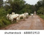 cows on the road. nelore cattle ... | Shutterstock . vector #688851913