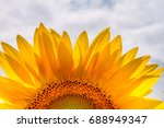blooming sunflower close up... | Shutterstock . vector #688949347