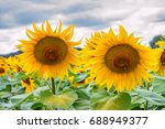 blooming sunflowers and... | Shutterstock . vector #688949377
