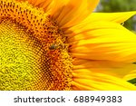 blooming sunflower and... | Shutterstock . vector #688949383