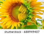 half blown sunflower close up... | Shutterstock . vector #688949407