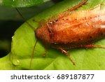 wild cockroach | Shutterstock . vector #689187877