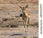 Small photo of Common impala in Kruger national park,South Africa ; Specie Aepyceros melampus family of Bovidae