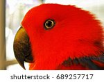 Big Eye Red Macaw
