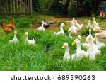 chickens and ducks in organic... | Shutterstock . vector #689390263