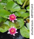 Small photo of Pink Waterlily flowers ( Nymphaea ) afloat in sunshine on an English pond