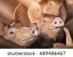small piglet waiting feed. pigs ... | Shutterstock . vector #689486467