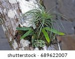 Epiphytic Plants On Tree Trunk