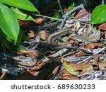 Small photo of Four-lined Ameivas in Cahuita - Costa Rica