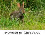 Eastern Cottontail Standing In...