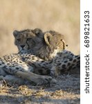 Family Of Cheetahs Relaxing In...