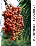 Small photo of Manila palm, Christmas palm, Adonidia tree